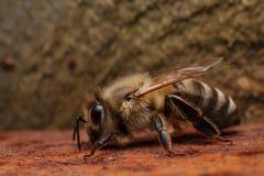 Biene auf verrosteter Eisenplatte Lizenzfreies Stockfoto