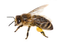 Biene auf Weiß lizenzfreie stockbilder