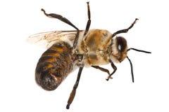 Biene auf Weiß Stockbild