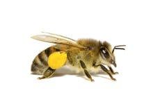 Biene auf Weiß Stockfotos