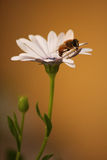 Biene auf weißem Gänseblümchen Stockfotos