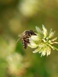 Biene auf weißer Blume Stockbild