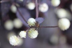 Biene auf weißer Blume Stockbilder