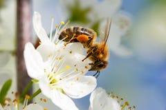 Biene auf weißer Blume Lizenzfreie Stockbilder