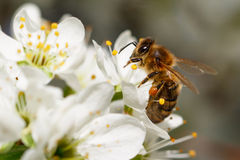 Biene auf weißer Blume Stockfotografie