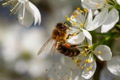 Biene auf weißer Blume Lizenzfreies Stockbild