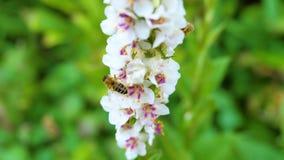 Biene auf weißer Blume Nektar sammelnd Lizenzfreies Stockfoto