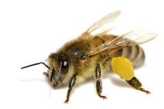 Biene auf Weiß Stockfoto