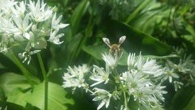 Biene auf wildem Knoblauch Stockfoto