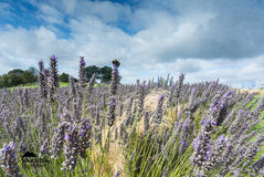 Biene auf Yorkshire-Lavendel Stockbild