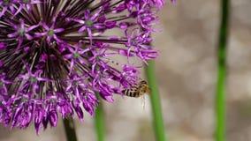 Biene auf Zwiebelblumen stock video footage