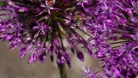 Biene auf Zwiebelblumen stock footage