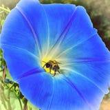 Biene bedeckt im Blumenblütenstaub Stockfotografie