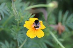 Biene bei Arbeit 2 Lizenzfreie Stockbilder