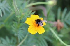 Biene bei Arbeit 3 Stockbild