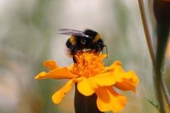 Biene bei Arbeit 4 Lizenzfreie Stockfotos