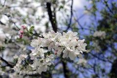 Biene bei der Arbeit über die Apfelbaumblume Lizenzfreies Stockbild