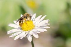 Biene bei der Arbeit über Gänseblümchen Stockfotografie