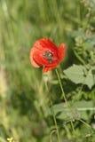 Biene bei der Arbeit über Mohnblumenblume Lizenzfreies Stockfoto