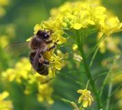 Biene bei der Arbeit Lizenzfreies Stockfoto