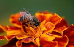Biene bei der Arbeit Stockbilder