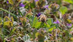 Biene bei der Arbeit Lizenzfreie Stockbilder