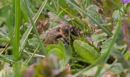 Biene bei der Arbeit Lizenzfreies Stockbild