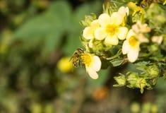 Biene bei der Arbeit am Ende des Sommers Stockfoto