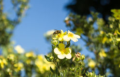 Biene bei der Arbeit am Ende des Sommers Stockbild