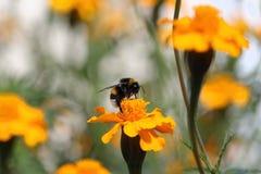 Biene bei der Arbeit, Hummel bei Arbeit 5 Stockfoto