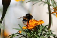 Biene bei der Arbeit, Hummel bei Arbeit 6 Stockbild