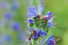 Biene beider Nektarsuche Royaltyfria Foton