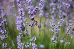 Biene bestäuben Lavendel Lizenzfreies Stockfoto