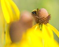 Biene bestäubt blühende helle gelbe Blume geschnittenen Blatt coneflower Lizenzfreies Stockbild