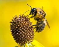 Biene bestäubt blühende helle gelbe Blume geschnittenen Blatt coneflower Lizenzfreie Stockbilder