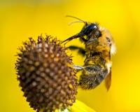 Biene bestäubt blühende helle gelbe Blume geschnittenen Blatt coneflower Stockfotografie