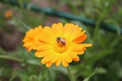 Biene bestäubt eine Blume lizenzfreie stockbilder