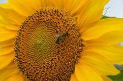Biene bestäubte Sonnenblume Lizenzfreies Stockbild
