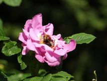 Biene in den Blumenblumenblättern Lizenzfreie Stockbilder