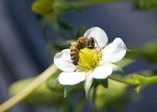 Biene in den weißen Erdbeereblumen Lizenzfreies Stockbild