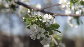 Biene in den weißen Kirschblüten blüht blühenden Obstbaum der Niederlassungsfrühlingszusammenfassungsnaturszene stock video footage