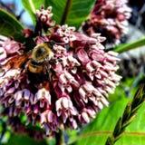 Biene in der Bestäubungsstimmung Lizenzfreies Stockfoto