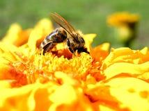 Biene der Bienen- Stockfoto