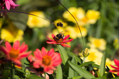 Biene in der Blüte, Diamantfrost, chamaesyce hypericifolia Stockfotografie