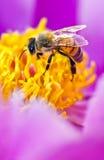 Biene in der Blume stockbilder
