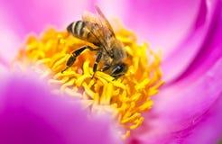 Biene in der Blume lizenzfreie stockbilder