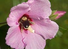 Biene in der Blume lizenzfreie stockfotografie