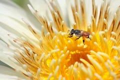 Biene in der Blume des weißen Lotos Stockfotografie