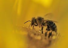 Biene in der gelben Sonnenblume Lizenzfreie Stockfotografie