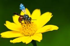 Biene in der grünen Natur Stockbilder